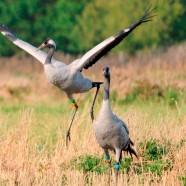 Great Crane Safari