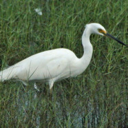 White African Egrets